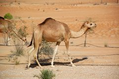 Camel, Arabian (Camelus dromedarius) Stock Photos