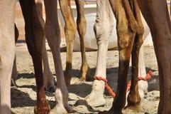 Camel, Arabian (Camelus dromedarius) Royalty Free Stock Photos