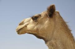 Camel, Arabian (Camelus dromedarius) Stock Image