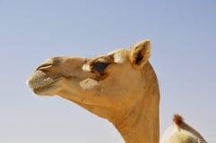 Camel, Arabian (Camelus dromedarius) Royalty Free Stock Images