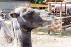 Camel. Armenian Yerevan Zoo Camel Animaln Stock Image