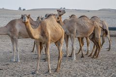 Camel attraction for tourists in desert in UAE stock image