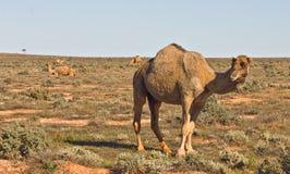 Camel in the australian desert Royalty Free Stock Photo
