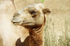 Camel in the aviary. He shows independence Stock Images