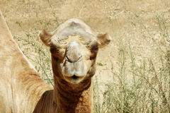 Camel in the aviary. He shows independence Stock Photos