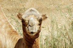 Camel in the aviary Stock Photos