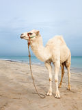 Camel baby Stock Images