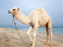 Camel baby Royalty Free Stock Photos