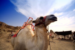 Camel on the background of the blue sky,Xinjiang Stock Photography