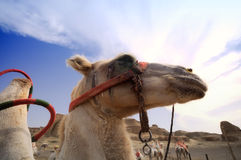 Camel on the background of the blue sky,Xinjiang Royalty Free Stock Photos