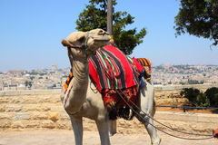 Camel on a background of the panorama of Jerusalem Royalty Free Stock Photos