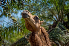 Camel on the background of trees with his head .The horizontal frame. Camel on the background of trees with his head on a Sunny day.The horizontal frame Stock Photography