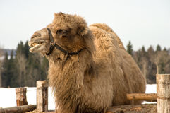 Camel. Royalty Free Stock Photo