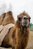 Camel. Bactrian camel in the farm Stock Photos