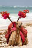 Camel on the beach Stock Image