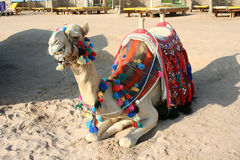 Camel on the beach Royalty Free Stock Photo