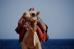 Camel on beach Stock Photo