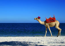 Camel Beach. A digital image of a camel on a beach in africa royalty free illustration