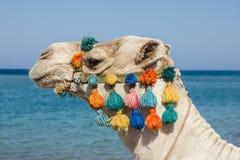 Camel on the beach. A camel on the beach Stock Image
