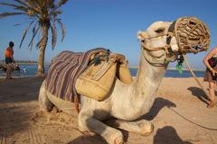 Camel on beach Royalty Free Stock Images