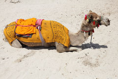 Camel on the beach in Dubai Stock Images