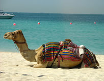 Camel on the beach in Dubai, UAE Royalty Free Stock Images