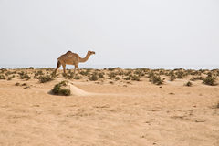 Camel on the beach Royalty Free Stock Images