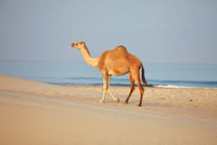 Camel on beach Stock Image