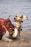 Camel on the beach. Camel Ride on the beach - Red Sea Stock Images