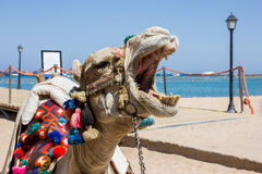 A camel is on the beach Stock Images