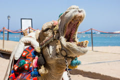 A camel is on the beach Royalty Free Stock Images