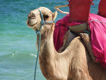 Camel on the beach in Tunisia, Africa on a clear day against the blue sea stock photos