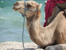 Camel on the beach in Tunisia, Africa on a clear day against the blue sea royalty free stock photography