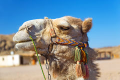 Camel in Bedouin village, Egypt Royalty Free Stock Photo