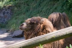 Camel behind a wooden plank fence royalty free stock photo
