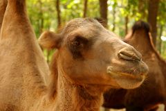 Camel in Beijing Wildlife Park royalty free stock photos