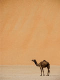 Camel below large dune. Camel standing at a bottom of large dune royalty free stock photography