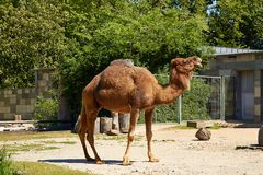 Camel in Berlin Zoo Royalty Free Stock Image