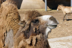 Camel. Royalty Free Stock Images