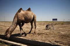 Camel-Bike Stock Image