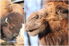 Camel and bison Stock Images