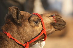 Camel With Bloody Nose Royalty Free Stock Images