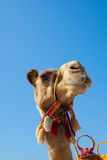 Camel. On blue sky background Royalty Free Stock Image