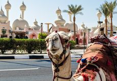 A riding camel in a bright blanket on the sunny street of Sharm El Sheikh. Camel in a bright blanket on the sunny street of Sharm El Sheikh Royalty Free Stock Image