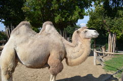 Camel at Budapest zoo park Royalty Free Stock Photos
