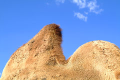Camel bumps. Close-up stock photos