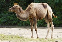 Camel calf Royalty Free Stock Photography