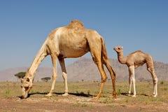 Camel and Calf Royalty Free Stock Photo