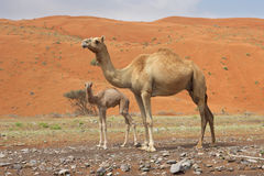 Camel and Calf Royalty Free Stock Photos