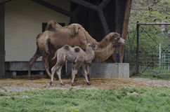 Camel with calf Royalty Free Stock Image